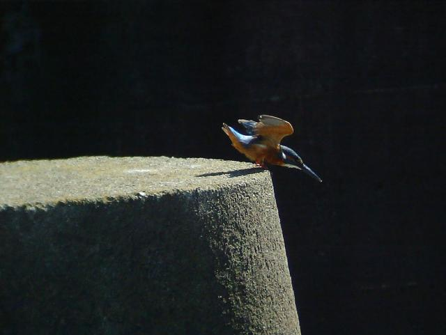 kawasemi3697[1].jpg
